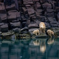 polar-bear-cubs-svalbard-norway-national-geographic-wallpaper