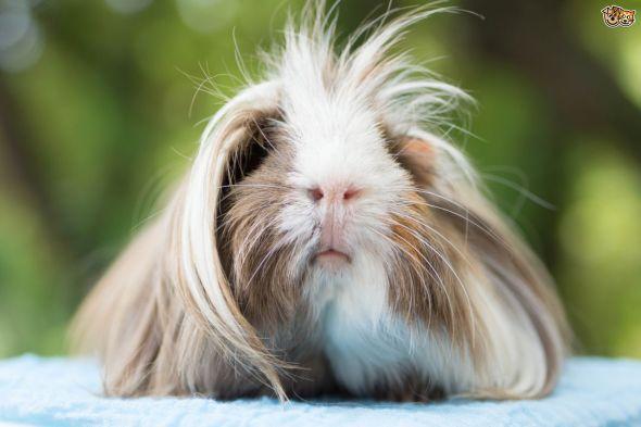 a-short-guide-to-the-peruvian-guinea-pig-54ae8bcad6145